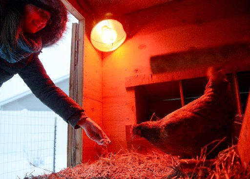 Too cold for chickens? Authorities say heat lamps aren't needed, are a danger