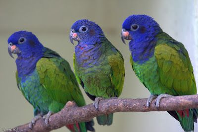 maitaca de cabeça azul_pionus menstruus Brazilian Birds