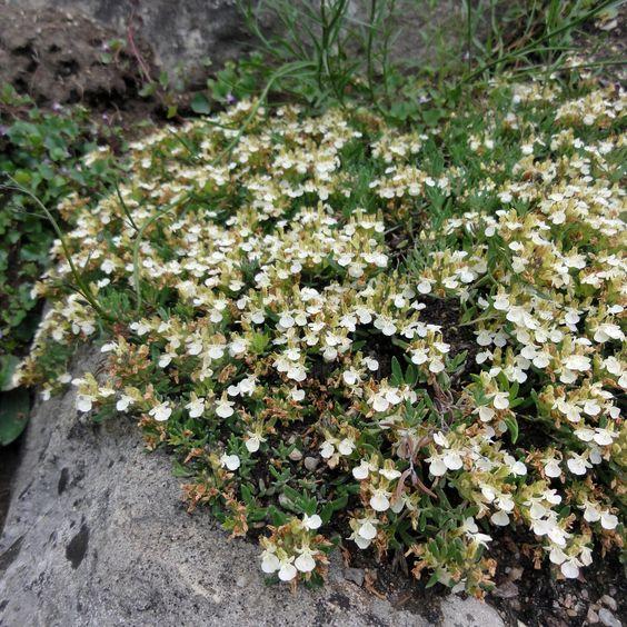 Für extreme Trockenstandorte: Berg-Gamander (Teucrium montanum)