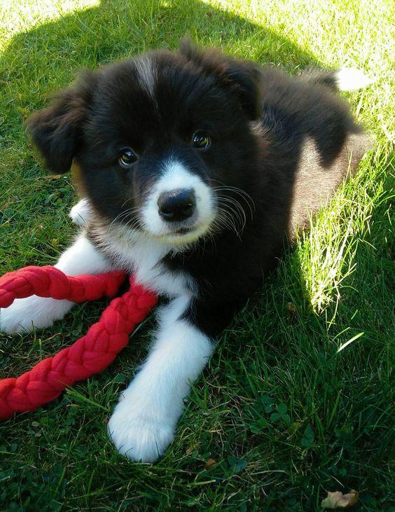Cute Fluffy Border Collie Puppy
