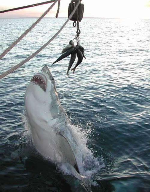 魚に食いつこうとするホホジロザメ