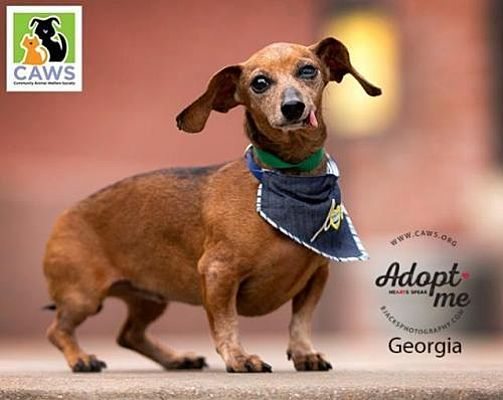 Salt Lake City Ut Dachshund Meet Georgia A Pet For Adoption