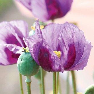 Mohn Dark Lilac Papaver Somniferum Mohn Blumen Pflanzen Pflanzen