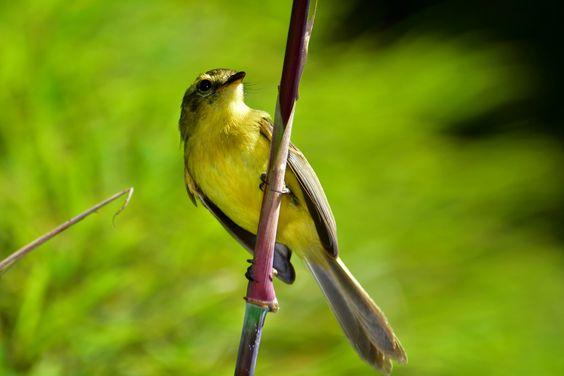 Marianinha-amarela (Capsiempis flaveola)