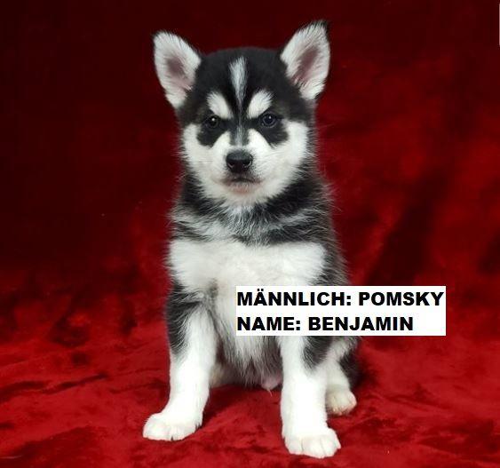 Pomsky Welpen Zu Verkaufen Pomsky Welpen Welpen Kaufen