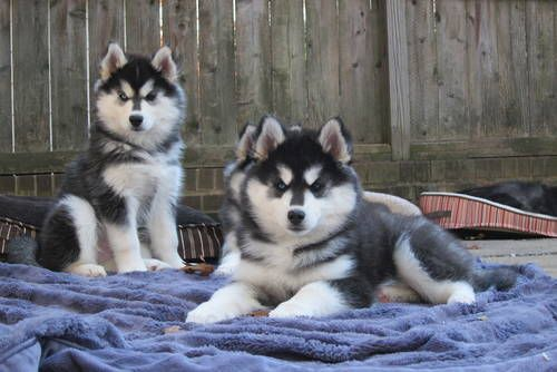 stunning woolly, BLUE EYES , purebred siberian husky puppies! !!!