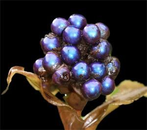 Polia condensata berry showing blue iridescence owing to light refraction, not blue pigment,