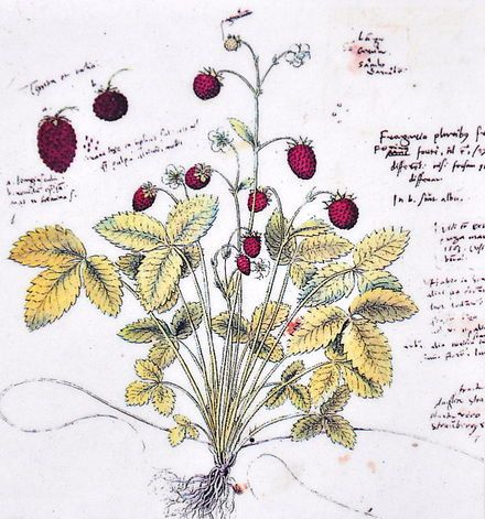 Wald-Erdbeere, Abbildung aus Conradi Gesneri Historia plantarum