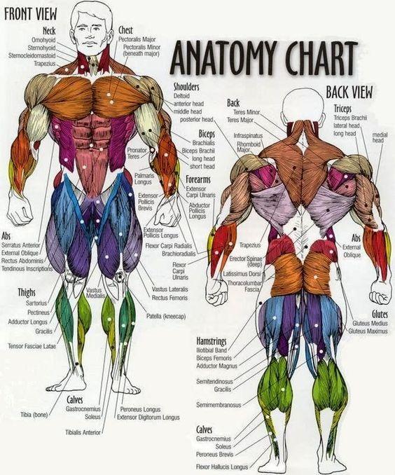 musculature homme