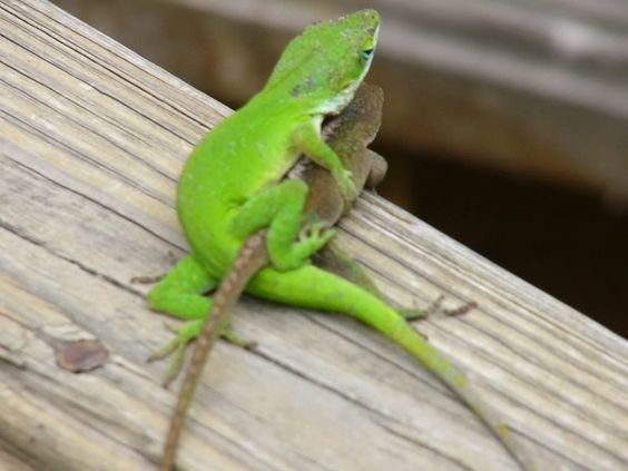 Which type of lizard is really fun to take care of?