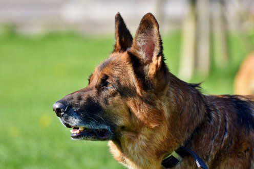 Clicker Training For German Shepherd Dogs Dog Training Dogs