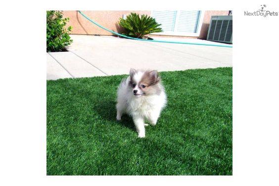 Pomsky Female Puppy Hybrid Pom Husky San Diego Ca Pomsky Puppies Puppies Pomsky Puppies For Sale