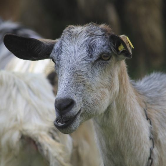 Shepherds in Italy