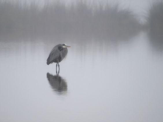 Great Blue on a foggy day | by gwburke2001