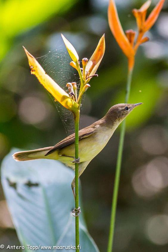 Flower bird by Antero Topp