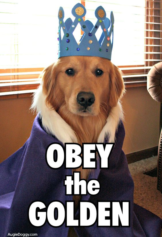 Obey the golden! Haha, that's great! Now, where is the one that says obey the dachshund?