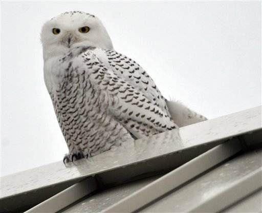Artic snowy owls soar south in rare mass move; MSNBC.com