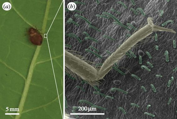 Bean Leaves Natural Pesticide For Trapping Bedbugs - Science News