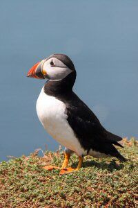 Lonely puffin