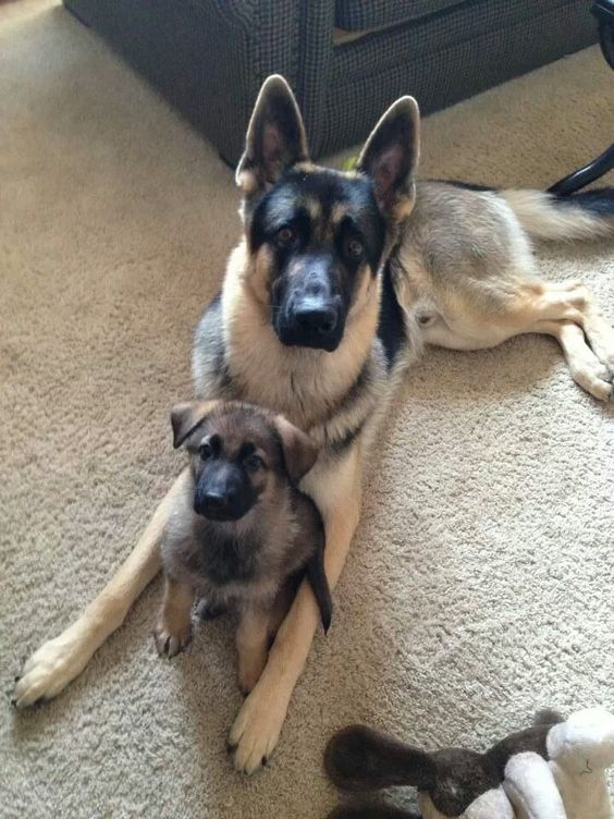 German Shepherds around the world are often the preferred breed for many types of work, including search-and-rescue, police and military roles and even acting. http://hrenoten.com