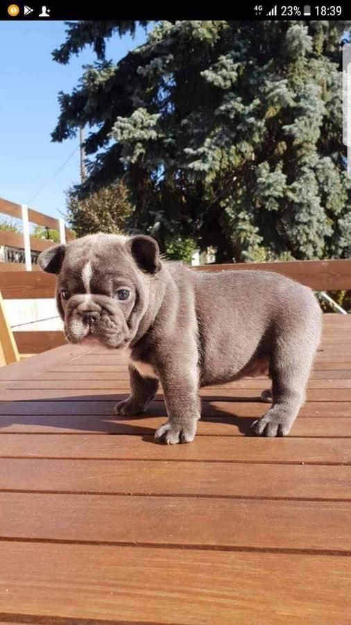 French Bulldog Puppies From European Parents French Bulldog