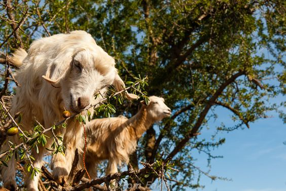 Goats love to climb the argan trees and eat the fruits. Unfortunately, they damage the tree so it's best to keep them away from it. The old traditional way of harvesting argan oil was to collect the seeds from the goats droppings. Not so common any longer but it's important to know where you buy your argan oil from.