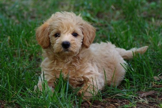 Schnoodle... i want it!!!! Animals Pinterest My mom