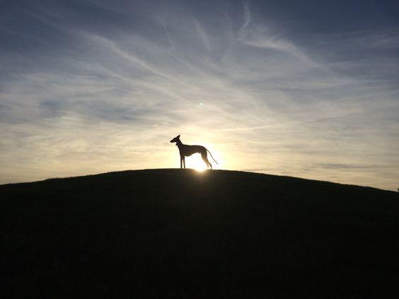 Mirando el infinito #greyhound #sunset #sun #sky #moon #clouds #dogslover #dogslife #look #galgo #galgoespañol