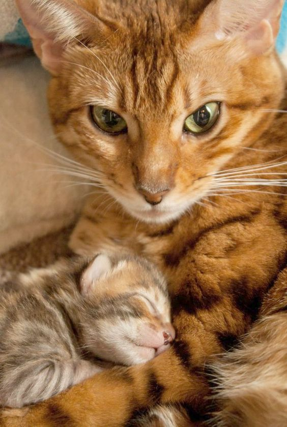 5 Reasons A Mother Cat Might Abandon Or Reject Her Young Cattime Cute Cats Pretty Cats Newborn Kittens