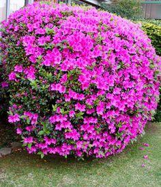 azaleas cubiertas de flores