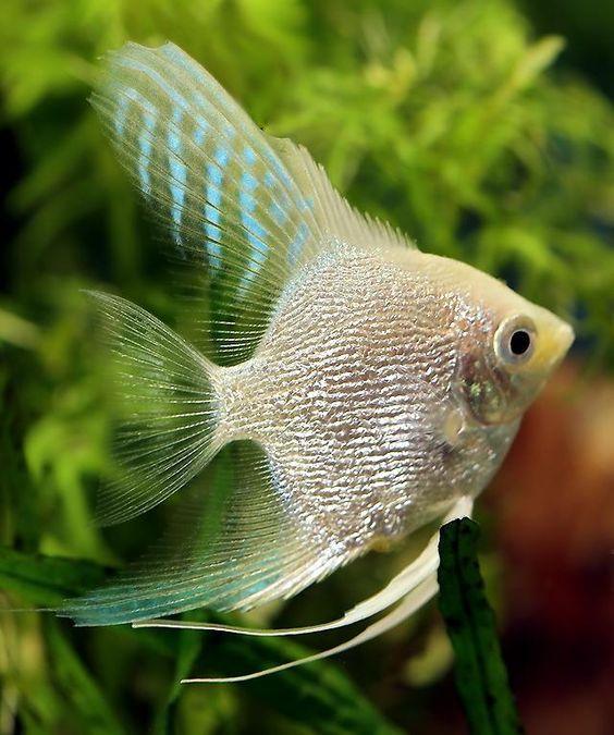 Pin On Angel Fish