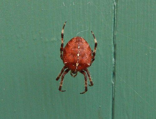Strawberry Spider Araneus Alsine Spider Insects Strawberry