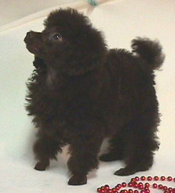 This is what my poodle looked like when I first saw her, fell in love with her, and just had to have her.