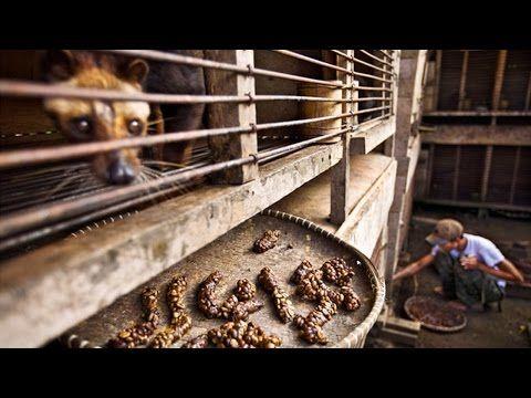 لن تصدق من ماذا ت صنع أغلى قهوة في العالم Youtube Expensive Coffee Kopi Luwak Coffee Food Facts