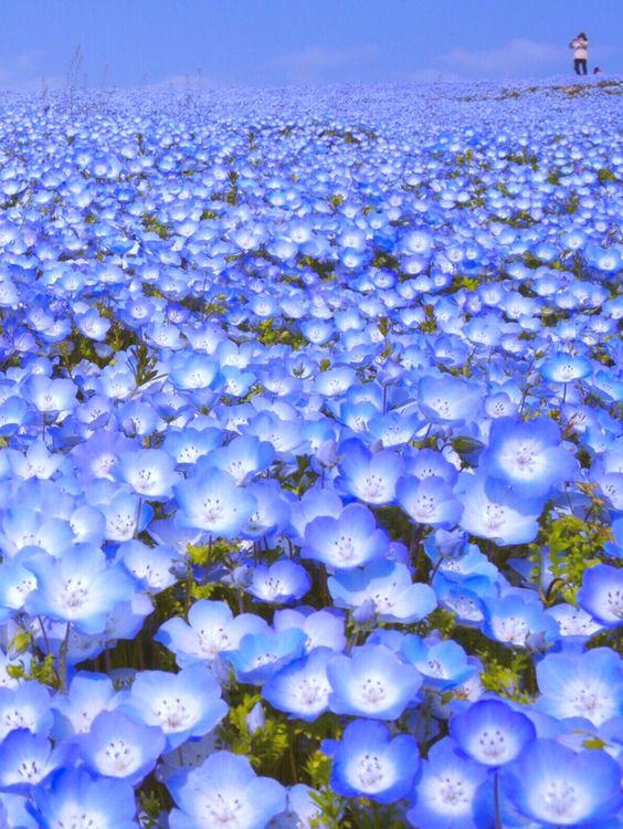 ネモフィラの綺麗で美しい花畑