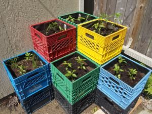 We startedgrowing edible crops in old milk crates in April. The idea came from the Bowery Project, which we stumbled upon at the Green Living Show. What was once a generous garden at the back of t…