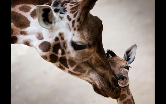 JAN 11: Rothschild's giraffe baby Katja is pictured next to her mother Katharina at the Opelzoo in Kronberg, Germany on January 7, 2014. The animal was born on January 2, 2014. (Frank Rumpenhorst/AFP/Getty Images)