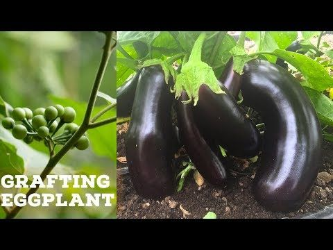 Grafting Eggplant On To A Turkey Berry Plant With Images