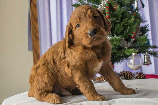 Goldendoodle Puppy For Sale In Kent Oh Adn 59672 On Puppyfinder Com Gender Male Age 4 Week Goldendoodle Puppy For Sale Goldendoodle Puppy Puppies For Sale