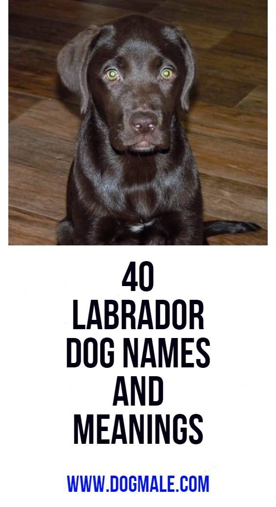40 Labrador Dog Names And Meanings Dog Names Labrador Dog Girl Dog Names