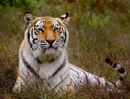 beautiful-wildlife:  TigerbyJohn Larson