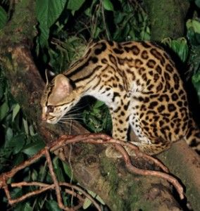 felis-bengalansis, Asian Leopard cat