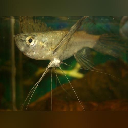 African Butterflyfish Fish African Freshwater Aquarium Fish