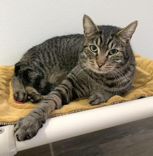 This Lovable Cat Needs A Home Domestic Short Hair Short Coat In Hillsboro Or Pet Adoption Pets Cat Adoption