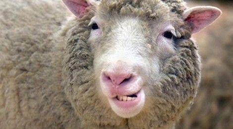Dolly, el primer animal clonado de la historia #Edinburgh #Edimburgo #Escocia #Scotland #animales #animals Más información / More info: http://edinatours.com/edinablog/la-oveja-dolly-el-primer-animal-clonado-de-la-historia/
