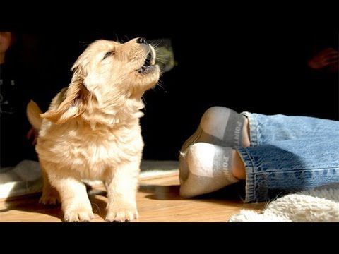 Labrador Retriever Puppies Barking Too Cute Puppies Barking And
