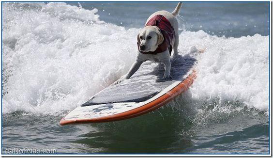 No te puedes perder estos increíbles perros surfistas de California (Video + OMG) - http://www.leanoticias.com/2014/09/30/no-te-puedes-perder-estos-increibles-perros-surfistas-de-california-video-omg/