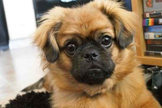 Pug Cross Breeds List Pug Mix Pugs Cute Pugs