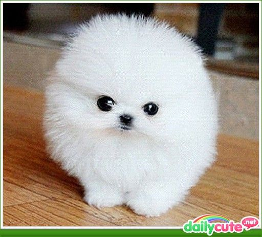 fluffy miniature dogs - photo #38