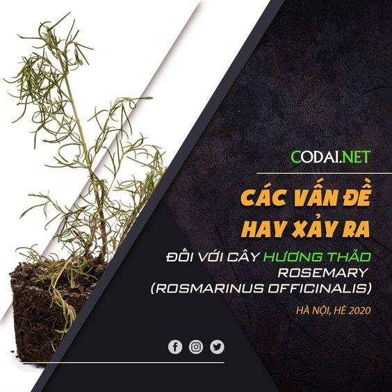 Hướng dẫn chi tiết chăm sóc và nhân giống cây Hương Thảo – Rosemary (Rosmarinus officinalis)